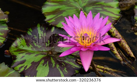 Colorful blooming pink water lily (lotus) with bee is trying to keep nectar pollen from it. The view captured at a lotus pond in Singapore. Lotus flower in Asia is a important culture symbol.Panoramic - stock photo