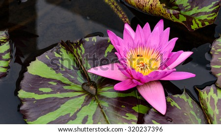 Colorful blooming pink water lily with bee is trying to keep nectar pollen from it. The view captured at a lotus pond in Singapore. Lotus flower in Asia is important culture symbol. . Panoramic style - stock photo