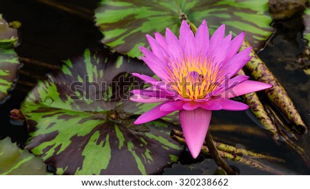 Colorful blooming pink water lily with bee is trying to keep nectar pollen from it. The view captured at a lotus pond in Singapore. Lotus flower in Asia is important culture symbol. Floral background - stock photo