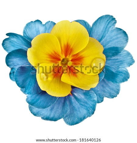Colorful blooming primrose primula polyanthus isolated on white - stock photo