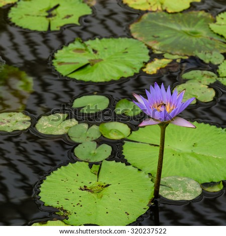Colorful blooming purple (violet) water lily (lotus) with bee is trying to keep nectar pollen from it. The view captured at a lotus pond in Singapore. Lotus flower in Asia is important culture symbol - stock photo