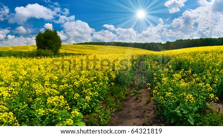 Colorful blossom field of rapeseed