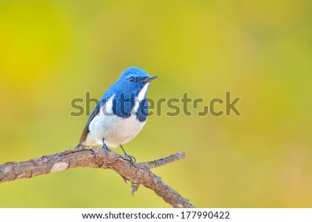 Colorful blue and white bird, male Ultramarine Flycatcher (Ficedula superciliaris) , perching on a branch, breast profile