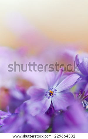 colorful blue flowers. purple flowers. close-up. soft focus, blur flower. flower background - stock photo