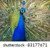 Colorful 'Blue Ribbon' Peacock in full feather (color saturated) - stock photo