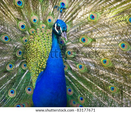 Colorful 'Blue Ribbon' Peacock in full feather (color saturated)