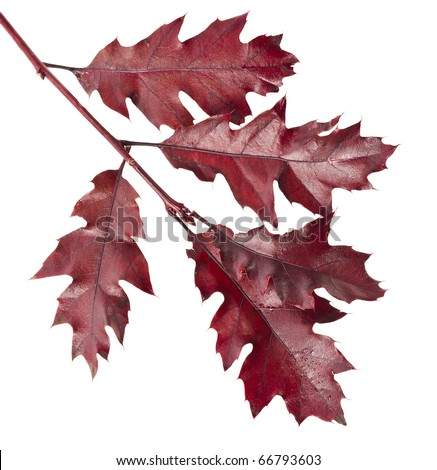 Colorful  branch of the oak tree ( Quercus rubra ) isolated - stock photo