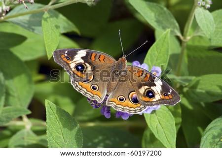 Colorful Buckeye Butterfly on Butterfly Bush - stock photo