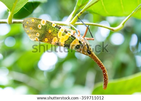 colorful bug Pyrops candelaria (Lanternflies) hang on the tree - stock photo