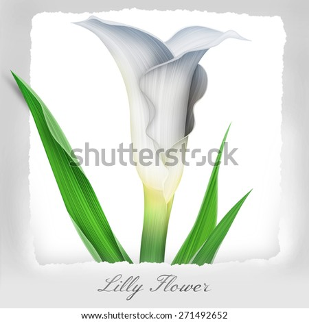 Colorful Calla Flower isolated on white. Beautiful tropical background inside the paper box. With free space for your text. - stock photo