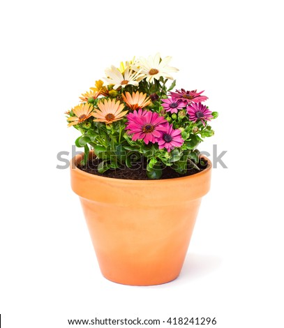 Colorful  cape daisy flowers in a ceramic flowerpot isolated  - stock photo