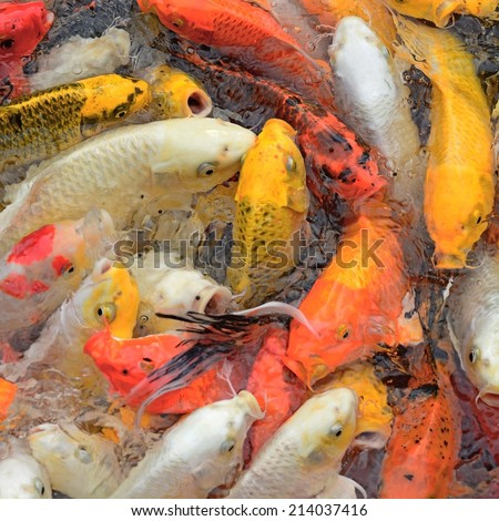 colorful carps surfaces in a feeding frenzy