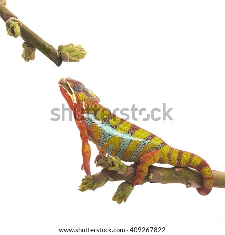 Colorful chameleon on the top of the branch drinking water drop from the plant on the white background. Close up illustration photography. - stock photo