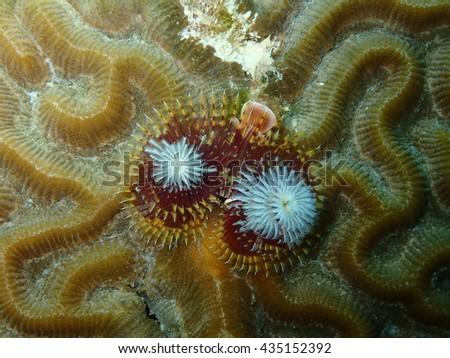 Colorful Christmas Tree Worm on a Brain Coral Key West Florida - stock photo