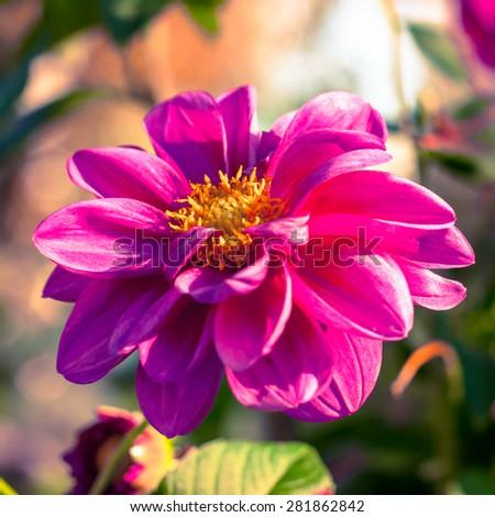 colorful Chrysanthemum closeup. floral background. shallow dof. autumn background. - stock photo