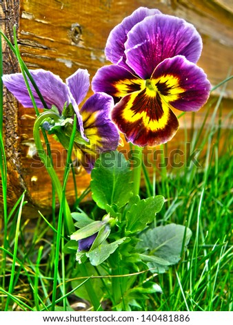 Colorful closeup macro detail of violet or viola in garden. Bloom or blooming flower with green grass. HDR nature background. - stock photo