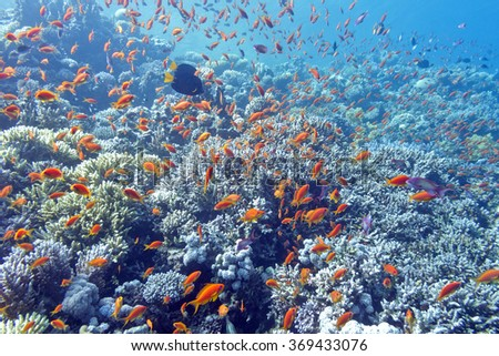 colorful coral reef with shoal of fishes scalefin anthias in tropical sea - stock photo