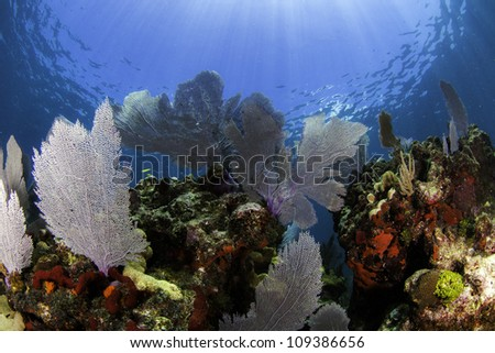 Colorful coral sea fans with blue water background and sun beams shining through the surface in Key Largo, Florida. - stock photo