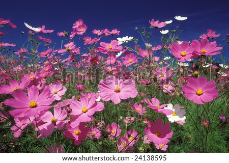 Colorful cosmos fields in the mountains