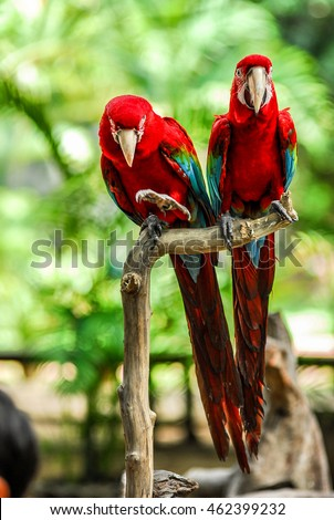 Colorful couple macaws birds sitting on log.