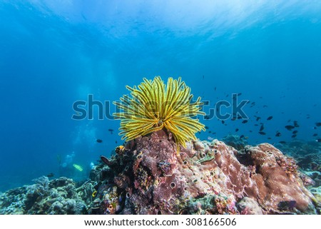 Colorful crinoidea or sea lily in tropical coral reef.