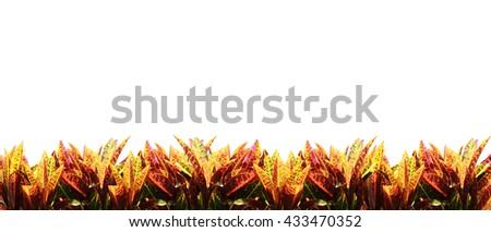 Colorful Croton Tree (Codiaeum variegatium) isolated on white background. - stock photo