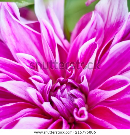 colorful dahlia closeup. floral background. shallow dof. autumn background. - stock photo