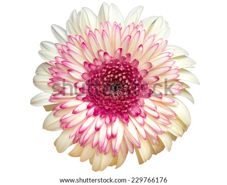 colorful dahlia flower isolated on white - stock photo