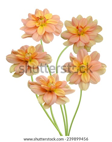 Colorful dahlia flowers on a white background. - stock photo
