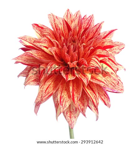 Colorful dahlia isolated on white background.