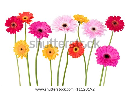 colorful daisies isolated on white background - stock photo