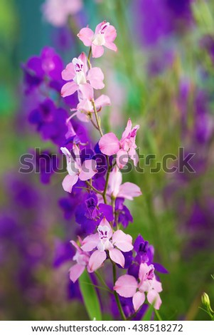 Colorful delphinium flowers in late May - stock photo