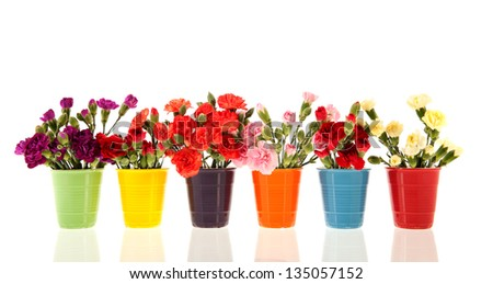 Colorful Dianthus in many vases isolated over white background