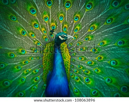 colorful digital painting of a male peacock displaying its tail feathers - stock photo