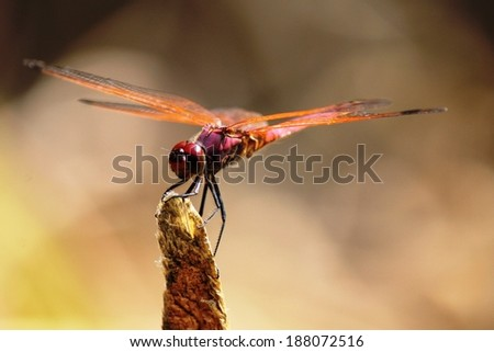 Colorful Dragonfly (Trithemis annulata) balancing on the tip of a branch near Lake Nkuruba, Kibale Forest, Uganda, East Africa.  - stock photo