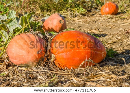 Colorful fall squash in the farm field ready to pick