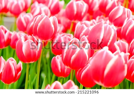 colorful field of tulips - stock photo