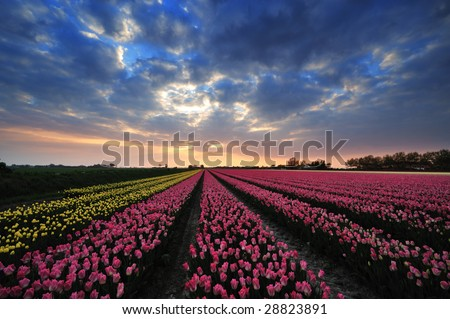 colorful field of tulips and sunset in the Netherlands - stock photo