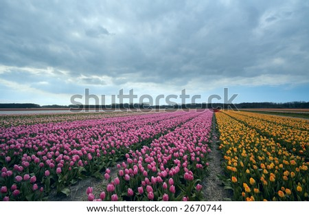 colorful field of tulips in spring