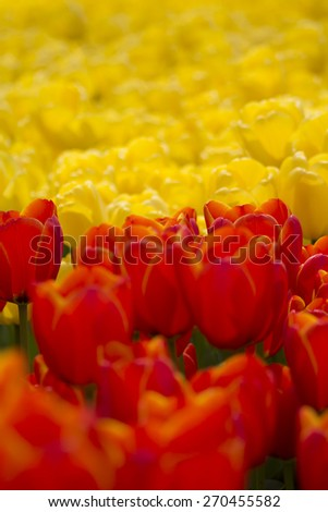 Colorful field of tulips in the morning light. very beautiful tulips in bloom and smell spring. Colorful tulip garden - stock photo