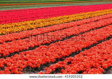 colorful field with tulips near Lisse, Netherlands - stock photo