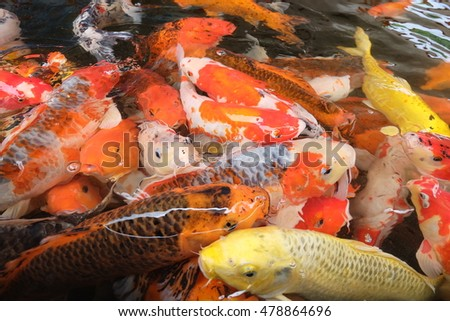 Colorful fish or CARP or fancy carp, also known as fancy carp, black carp. Or carp IX. A freshwater fish of the carp.