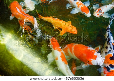 Fancy carp stock photo 491236480 shutterstock for Colorful pond fish