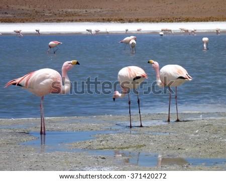colorful flamingos in a lake at bolivian altiplano - stock photo