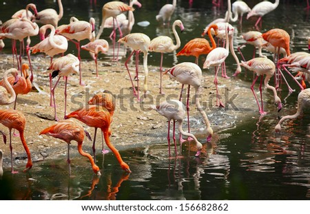 colorful flamingos live by the side of lake