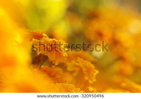 Colorful floral background yellow. Marigold close up. Sunny autumn background. Yellow flowers - stock photo