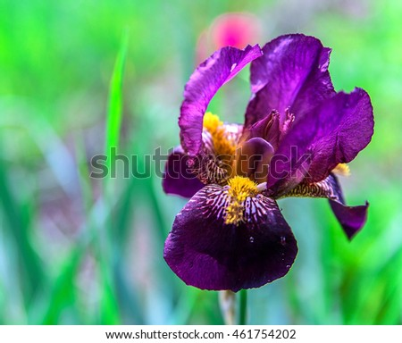 colorful flower iris as a background photo for micro-stock