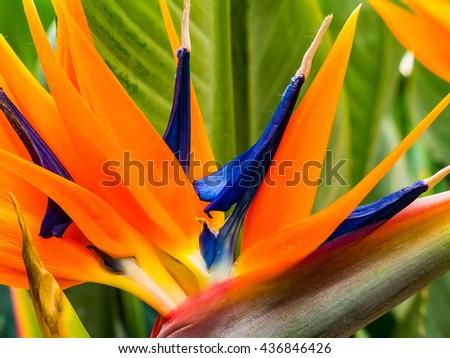 Colorful flower of strelitzia, strelicia close-up - stock photo