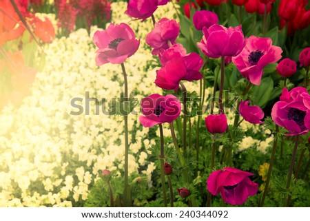 colorful flowerbed of anemones in Keukenhof garden, Holland - stock photo