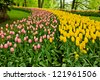 colorful flowerbed  - tulip stripes in Keukenhof garden, Holland - stock photo